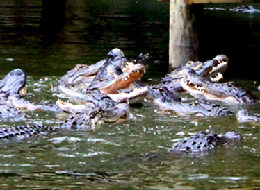 Feed The Alligators
