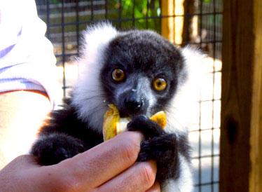 Snuggle a Lemur