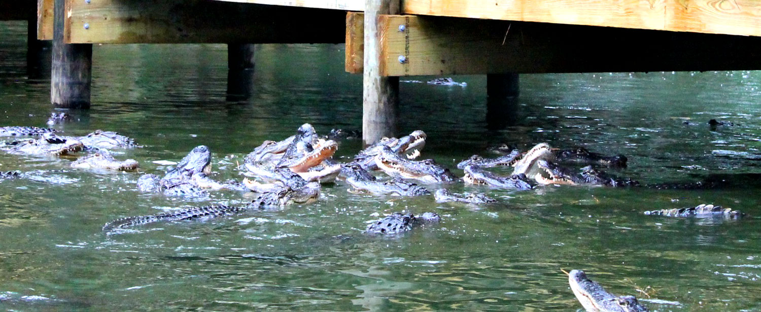 Feed over 60 alligators in Panama City Beach